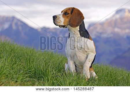 Alert Beagle Dog standing in meadow with Mountains in background
