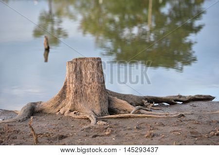 old die tree stump with river background
