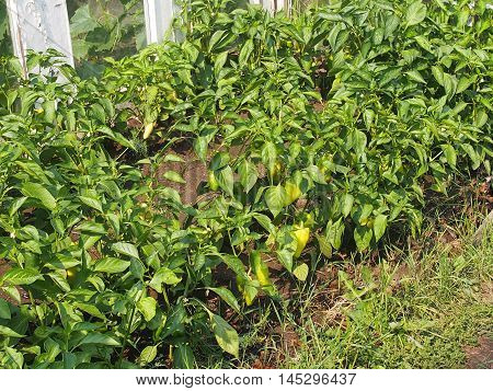 cultivation of sweet paprika in a kitchen garden