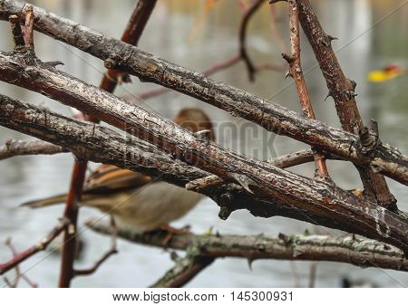 Branches with spikes and a sparrow on the background in November