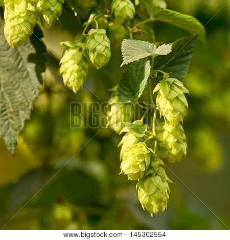 detail of hop cones in the hop fild