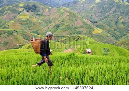 old farmer works and carries baskets on his shoulder in the field of rice on rice terraces