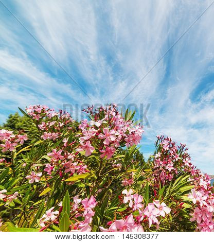 pink oleanders under a blue sky in Sardinia