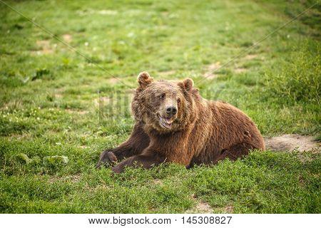 Big European brown bear resting in grass