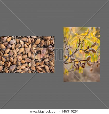 Two photos collage of ripe almonds on the branches and harvesting almonds on dark grey color background. Collage from 2 photos of ripe almonds. Horizontal. Daylight.