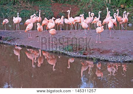 Flock of Flamingos reflected in a lake