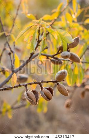 Ripe almond nuts on the branches of almond tree in early autumn. Ripe almonds on the tree branches. Vertical. Daylight.