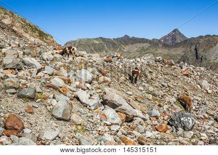 Alpine Sheep Close To Sulzenauferner Glacier