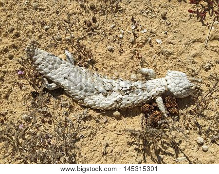 Shedding skin of Agama lizard in hot strong sun. Dried outer skin of lizard slough off found on sand, drought coastal area in Australia