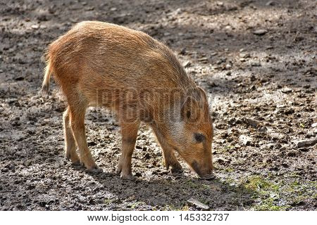 young boar foraging for food in the wild