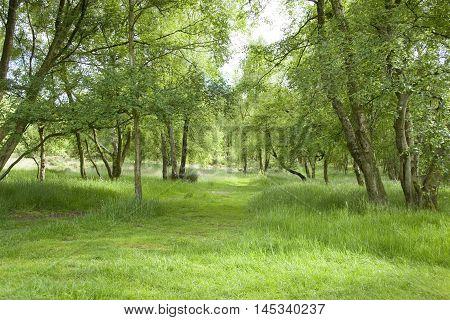 Sunlit pathway between birch trees on Stanton Moor, Derbyshire, UK