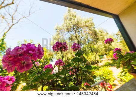 some pink geraniums on a window sill