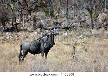 Picture of a blue wildebeest in private game reserve in the Waterberg wilderness area, South Africa.