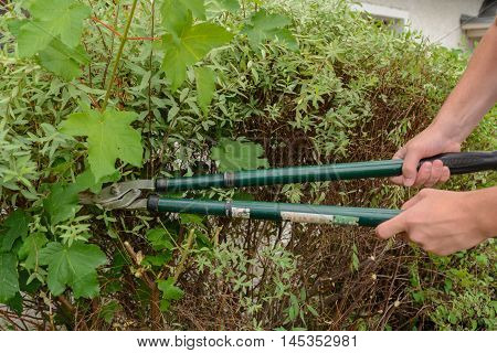 Gardener cuts shrubs with pruning shears - Closeup