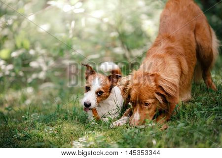 Dog Jack Russell Terrier And Dog Nova Scotia Duck Tolling Retriever Walking