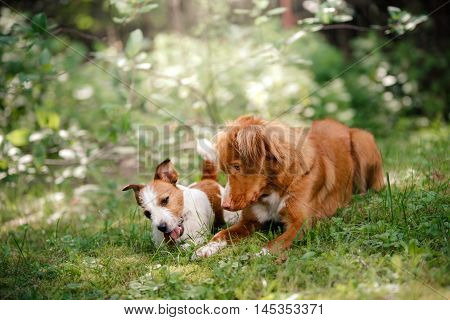 Dog Jack Russell Terrier and Dog Nova Scotia Duck Tolling Retriever walking in summer park lying on green grass