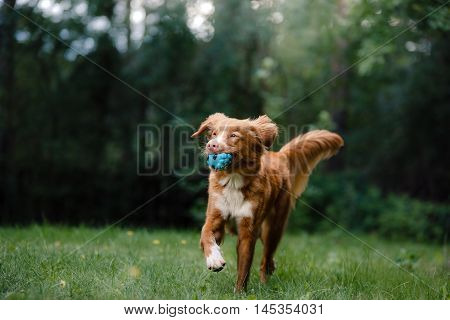 Dog Nova Scotia Duck Tolling Retriever running around the garden on green grass