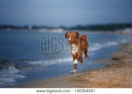 Dog Nova Scotia Duck Tolling Retriever