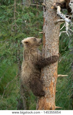 Alaskan Brown Bear Cub Clings To A Tree