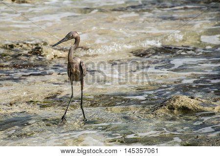 Mexican heron bird at the beach del carmen in yucatan 3