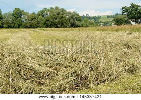 Harvest Ready hay from the field in rows