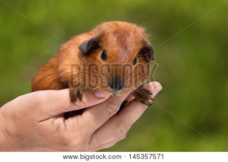 hand holding young shorthair guinea pig on green background