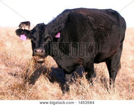 Cow Eating Cud