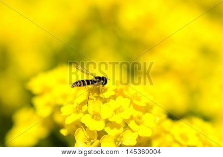Close up view of hover fly on yellow flowers