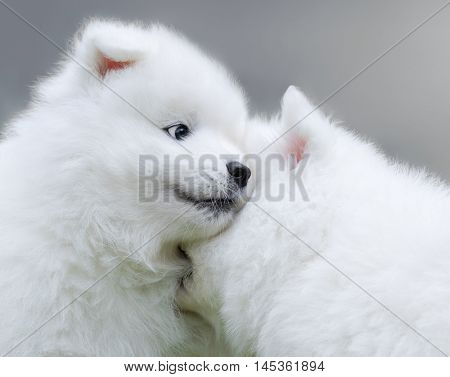 Two puppies of Samoyed dog. Close up.