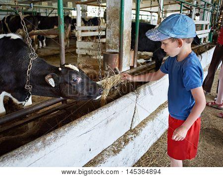 Little boy feeding calf with hay in a stall on a dairy farm