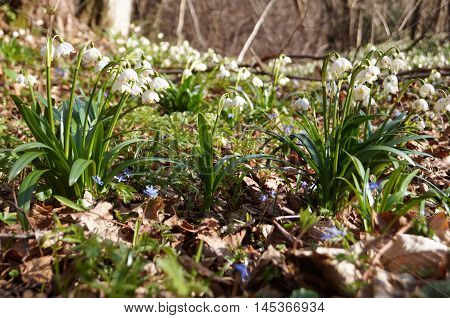 Bushes of snowdrops with white flowers and green leaves in the dry leaves in the forest