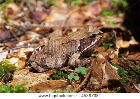 Wood frog sitting on green moss among the dry leaves in the forest