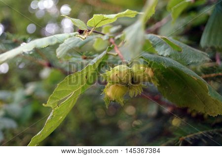 Branch with green hazel nuts among green leaves in the forest