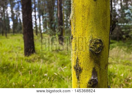 eucalyptus tree trunk with yellow moss and other in backgraund
