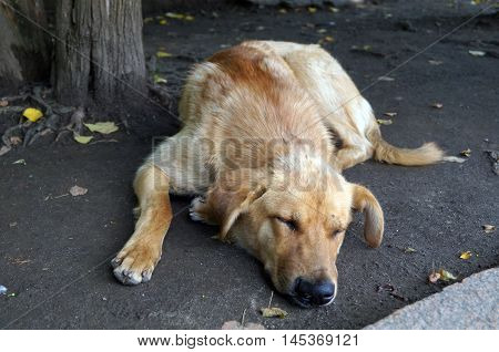 Dog with red hair and big black nose, sleeping on the ground in the park