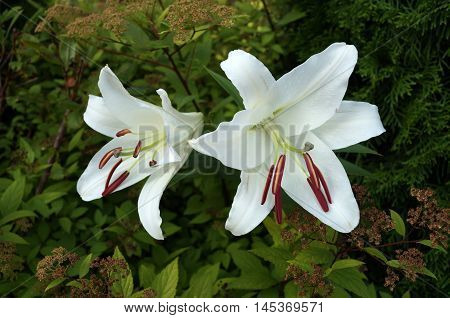 White lily flowers with red stamens on the background of green grass