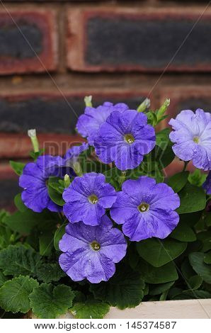 A flowerbed filled with purple petunias in a garden