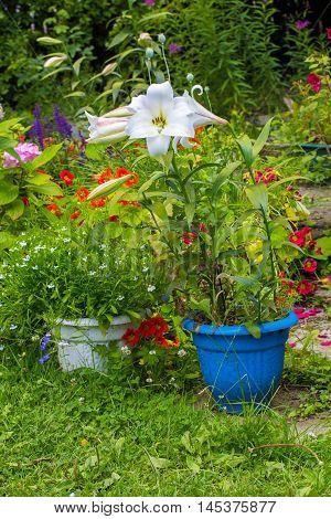 Beautiful home garden in Summer. White lilies in the flowerpot.