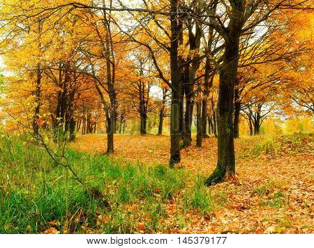 Autumn forest with fallen autumn oak leaves. Autumn colored landscape - oak forest in autumn cloudy day. Picturesque autumn landscape view of yellowed autumn oak forest -view of autumn nature.
