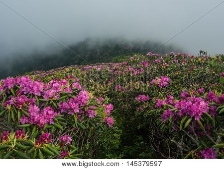 Trail Cuts Through Sea Of Rhododendron
