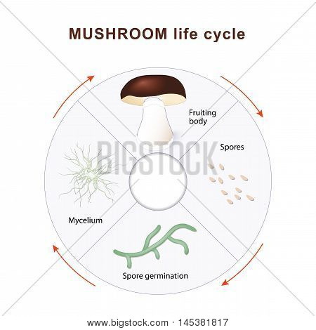 mushroom life cycle. Mushrooms and vegetation. Reproduction fungus. Mycelium vegetative part of a fungus consisting of a mass of branching thread-like hyphae. Spore