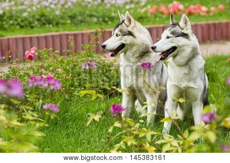 Two husky dogs sit on green grassy lawn in summer park.