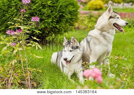 Two husky dogs on green grassy lawn in summer park.