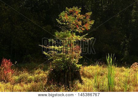 a picture of an exterior Pacific Northwest forest with a second growth Douglas fir tree