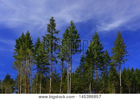 a picture of an exterior Pacific Northwest forest of Douglas fir trees with blue sky and clouds