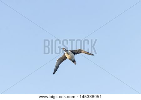 Heavy-bodied Common Loon cruising at low altitude