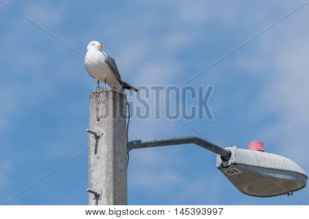 Ring billed gull perched on concrete pole with blue sky and clouds