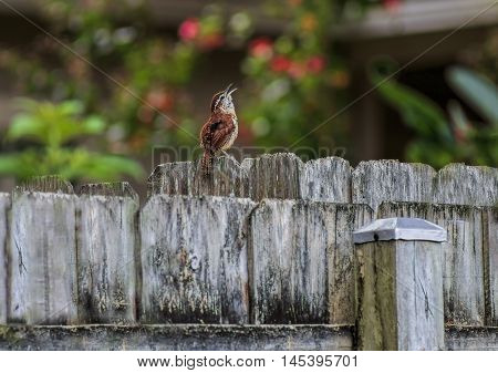 Tiny Bird a Carolina Wren perches on a Wooden Fence and sings against a colorful bokeh background