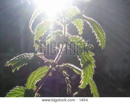 Backlit Nettle