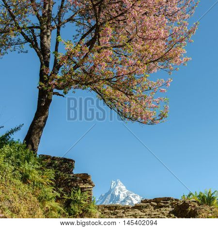 Tree in bloom and the Machapuchare in the background, Nepal